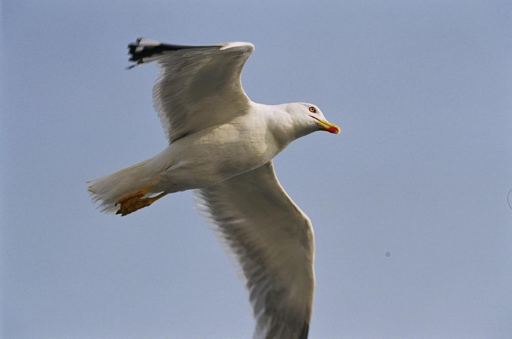 Чайка в Крыму